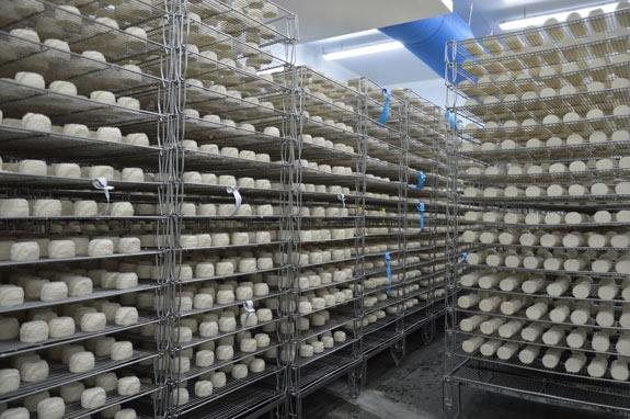 Affinage des fromages - moulés louche - Fromages au lait cru - Sèvre & Belle - Atelier de la Sèvre